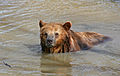 A Brown Bear in Water.jpg