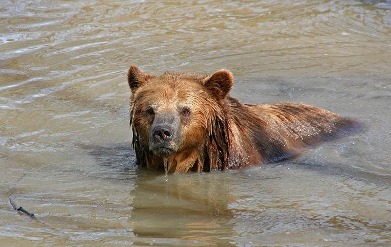 File:A Brown Bear in Water.jpg