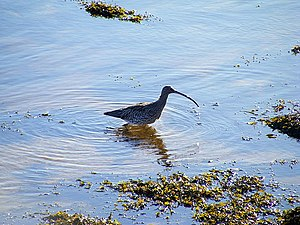 A Curlew on the Estuary - geograph.org.uk - 1138861.jpg