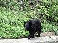 A Himalayan Black Bear.jpg