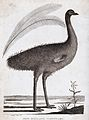 A New Holland cassowary and two enlarged feathers. Etching b Wellcome V0022298.jpg