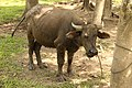 A carabao at Bohol 2017 o.jpg