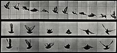 A cockatoo flying. Photogravure after Eadweard Muybridge, 18 Wellcome V0048784.jpg