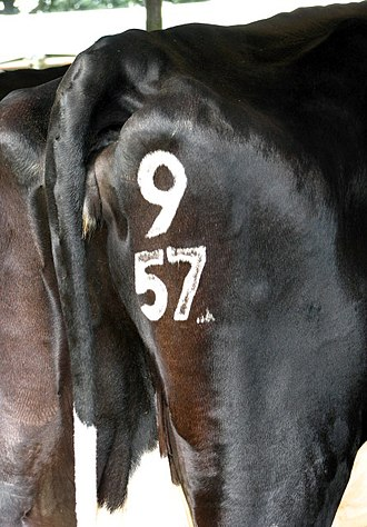 Freeze brand - A cow with a numerical freeze brand on its hindquarters