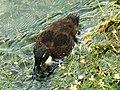 A duck of some sort, River Kennet, Eddington - geograph.org.uk - 1357052.jpg