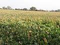 A field of kale east of the Ballygilbert Road - geograph.org.uk - 2636575.jpg