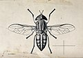 A horse fly (Tabanus dorsivitta). Pen and ink drawing by A.J Wellcome V0022592.jpg