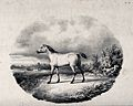 A horse standing on a meadow overlooking a field with more h Wellcome V0021811.jpg