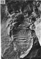 A monograph of the terrestrial Palaeozoic Arachnida of North America photos 70-75 72.png