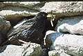 A starling attends its offspring in the depths of a cleit wall - geograph.org.uk - 721480.jpg