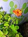 A variety of bangladeshi rose (2).jpg