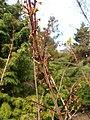 Abeliophyllum distichum 2017-04-17 7240.jpg
