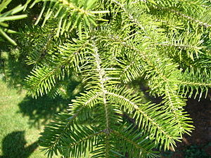 Abies cephalonica : twigs