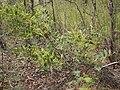 Acacia complanata 3.jpg