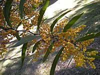 Acacia macradenia foliage and flowers 1