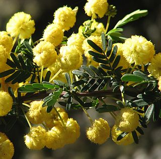 <i>Acacia nigricans</i> species of plant