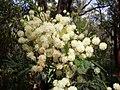 Acacia parramattensis Jannali.jpg