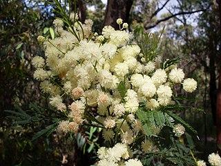 <i>Acacia parramattensis</i> species of plant
