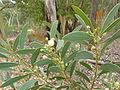 Acacia penninervis (5368395701).jpg