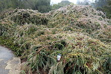 Acacia Cultriformis Wikivisually