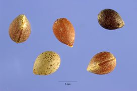Acalypha virginica seeds.jpg