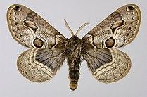 Acanthobrahmaea europaea.jpg