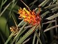 Acanthostachys strobilacea (TS) 1-00845.jpg