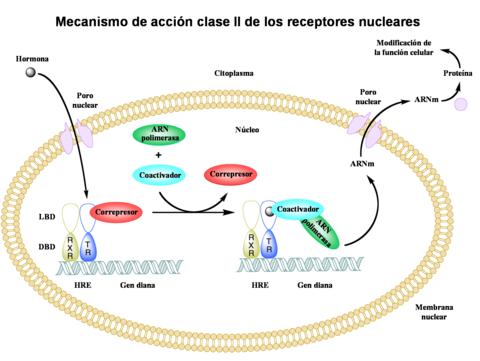 glucocorticoides y mineralocorticoids pdf