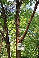 Acer griseum bark Rogów.JPG