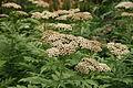 Achillea macrophylla - Botanischer Garten Mainz IMG 5617.JPG