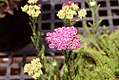 Achillea millefolium Saucy Seduction 0zz.jpg