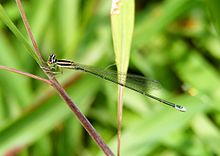 Aciagrion occidentale by Sherif.jpg