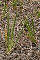 Acorus calamus - Agri-Horticultural Society of India - Alipore - Kolkata 2013-01-05 2317.JPG