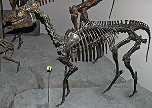 Acritohippus - A. isonesus skeleton