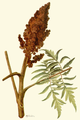 Addisonia 01-037 Rhus typhina.png