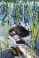 Adirondacks - duck - 06.jpg