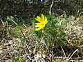 Adonis vernalis sl58.jpg