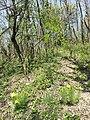 Adonis vernalis sl59.jpg