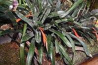 Aechmea pineliana 2zz.jpg