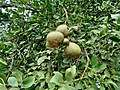 Aegle marmelos bhel goldenApple JapaneseBbitterOrange stoneApple WoodApple 01.jpg