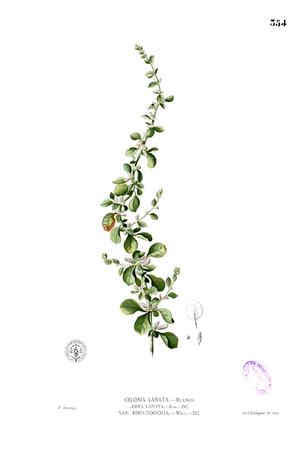 Aerva lanata - Aerva lanata var. rotundifolia