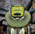 Aeshna cyanea - head close-up (aka).jpg