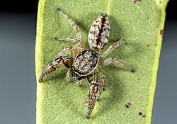 Afraflacilla-grayorum-whyte-A Field Guide to Spiders of Australia.jpg