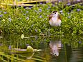 African Jacana (Actophilornis africana) chick3.jpg