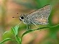African Straight Swift (Parnara bada) on Chromolaena W IMG 1566.jpg