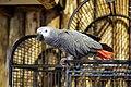 African grey parrot, Psittacus erithacus 02.jpg