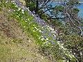 Agapanthus praecox orientalis Willd. (AM AK289253-2).jpg