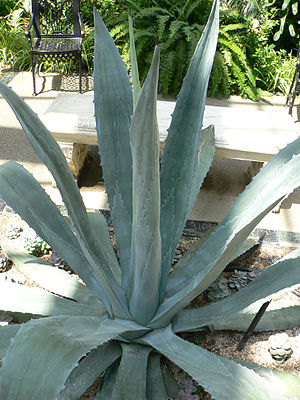 Rosette (botany) - Rosette of leaves of Agave americana