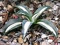 Agave americana 'Medio-Picta' Plant 3264px.jpg