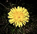 Agoseris apargioides, or seaside false-dandelion.jpg